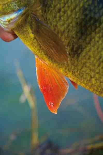 Aborren er en smuk fisk med flotte farver. Her er det en smuk rød finne, der lyser op på en ellers grå og kedelig vinterdag.