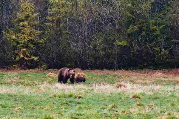 Brun bjørn er der en hel del af ved Trysil, men du skal være heldig for at se dem.