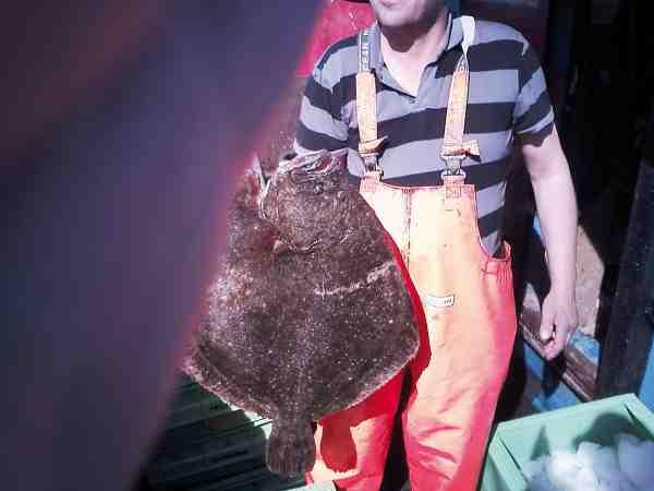 I Øresund er der chance for kæmpestore pighvar. Denne på 10 kilo blev fanget af en erhvervsfisker i garn ved Hälsingborg.