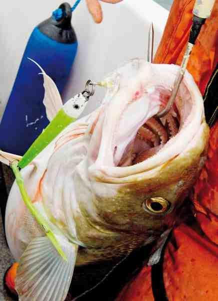 Gadusenpirken synker hurtigt til bunden og er derfor perfekt til bulefiskeri. For at fejlkroge mindst mulige fisk anbefaler vi, at du benytter Sportsfiske-rigget, som du kunne læse om i Fisk & Fri 8 + 9/2011.