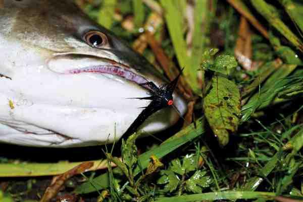 En flot, blank sommerørred i 5 kilos klassen, der tog en hurtigt fisket, sort rørflue med SoftDisc meget voldsomt helt oppe i overfladen!