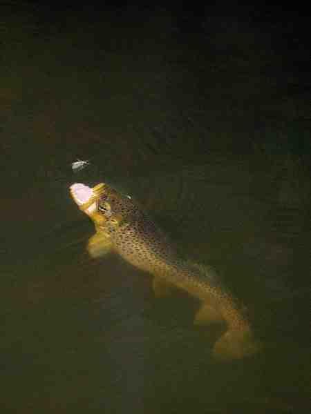 Godt vandmiljø er vigtigt for insektlivet og dermed også for ørredens fødegrundlag.