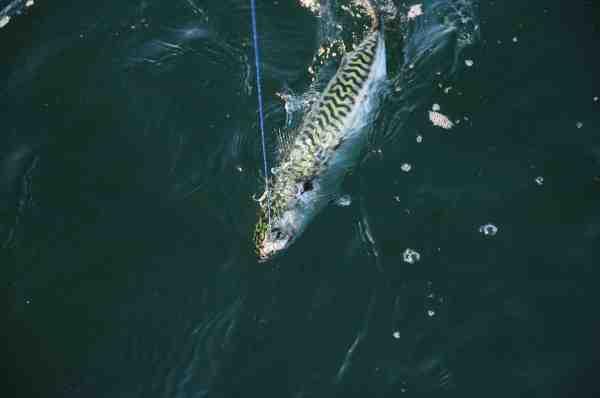 Bemærk Jespers makrel takel som består af to små trekroge og en lang sildestrimmel.