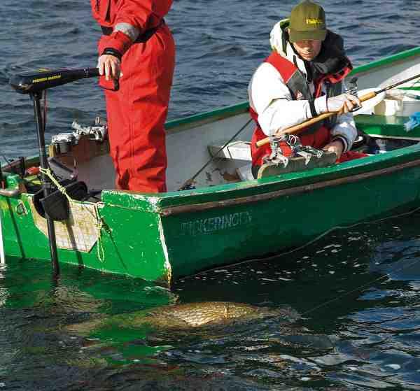 De afgørende sekunder inde ved båden, hvor fisken ofte ryster helt vildt med hovedet, er der hvor forfangets styrke for alvor skal så sin test.