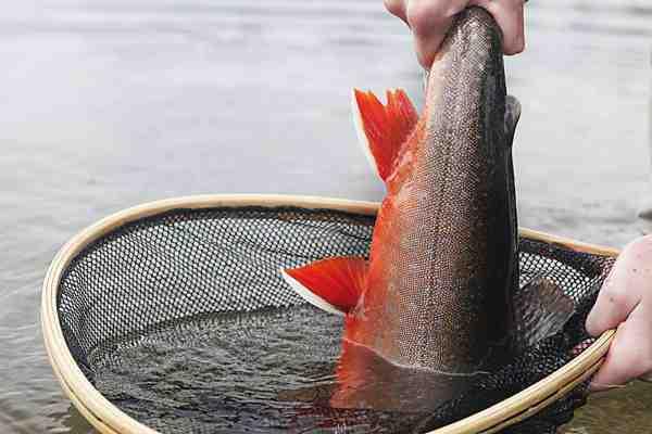 Det er ikke småfisk, du har chancen for at fange i rødingparadiset ved Aborrträsk.