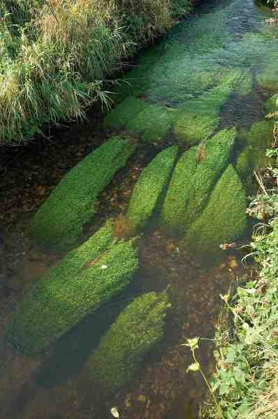 Naturlig grødepuder af vandstjerne bidrager til levesteder for fisk og smådyr.