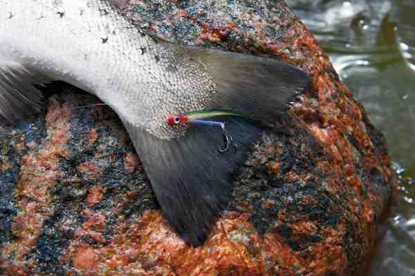 Denne fine kystørred faldt for en tobisrørflue fisket på det simple, men effektive L-rig, der i princippet blot er en lille str. 16 trekrog bundet ind i en ophængerløkke. Nemmere kan det ikke blive.
