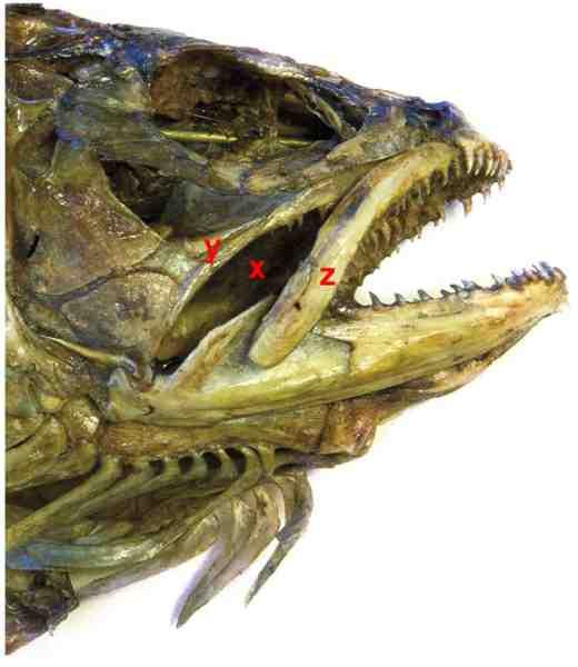 Når man ofte får et rigtig godt kroggreb i kæbevinklen skyldes det bl.a. at krogen let kan få fat omkring maxillarbenet (z) og penetrere gennem den bløde hud (x), der ligger mellem denne og palatinebenet (y).