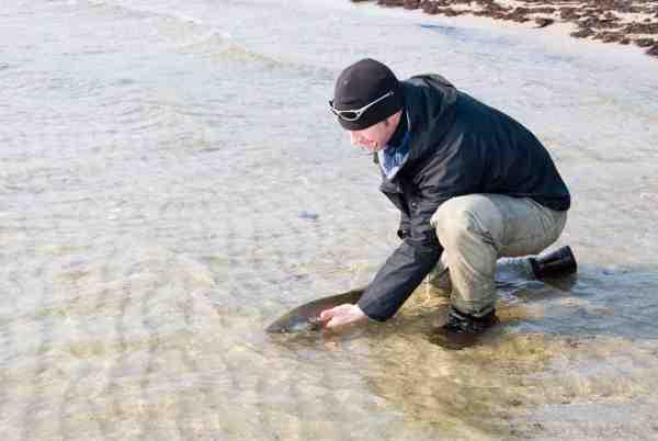 Farvel og tak. En lang men slank fisk får chancen for at æde sig tyk og fed igen.
