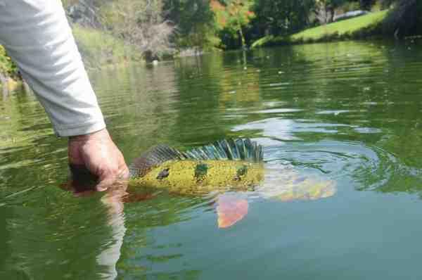 Peacock bass er sådan set fine spisefisk, men det mest almindelige er at genudsætte dem. Hvis man beholde dem er det dog kun tilladt at beholde en per person. Disse »baglimits« kunne vi også lære lidt af i Danmark.