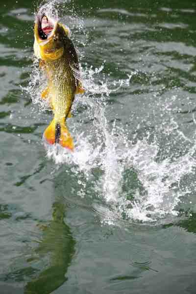 Heftig luftakrobatik er hverdagskost, når du kroger en stor dorado på fluestangen.