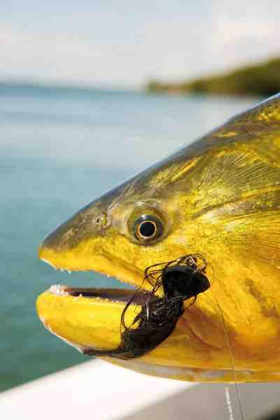I Argentina har folk indset hvor stor økonomisk værdi lystfiskeriet efter Doradoen har – og derfor er der skrappe restriktioner på fiskeriet efter den.