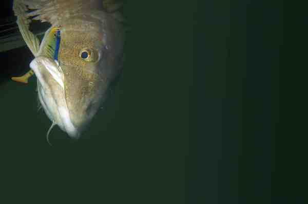 En af mange torsk der ikke kunne stå for gummiets fristelser