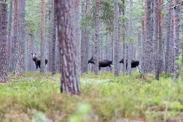 Naturoplevelser er der nok af på Öland. Foruden mængder af havørreder, gedder og havørne, kan man også være heldig at støde på fruen med de store sko. Her ses en elgko med to unger i en af Ölands smukke skove.