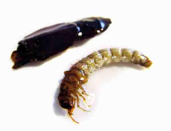 Her er en vårfluelarve pillet ud af sit hus. I levende live vil larven gøre alt for at blive inde i huset.