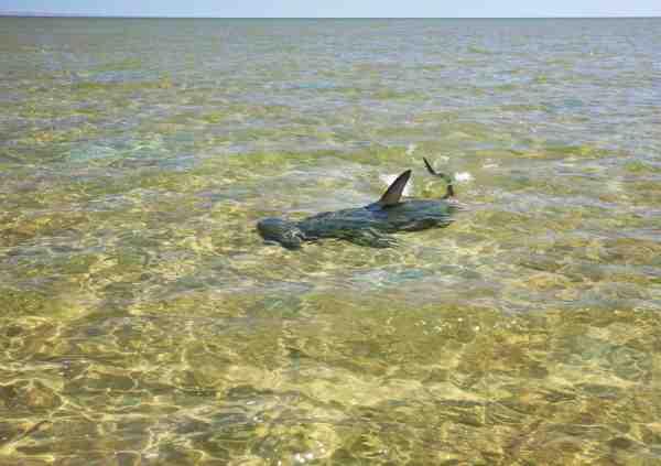 Mens vi stille glider over den kilometer-lange flat og spejder efter permit og queenfish, får vi pludselig besøg af en hammerhaj, som lige skal tjekke os ud. Senere ser vi den jagte og fange en stor havskildpadde – et brutalt men imponerende skue, som pisker flat'en til skum.