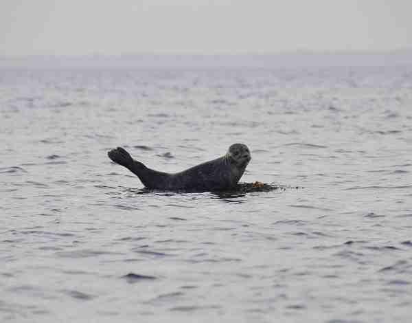 Sæler ses flere steder i Isefjorden – især i den øvre del af fjorden. Denne nysgerrige sælunge blev fanget med kameraet ud for Alholm.