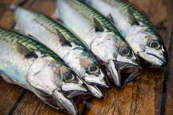 Der blev fanget rigtig mange makreller i løbet af de to dage som konkurrencen forløb over. Indvejningen gjorde hele tiden opmærksom på hvor stor den mindst præmiegivende makrel var, så fiskere kunne sætte mindre fisk ud igen og derved holde et bæredygtigt koncept gennem hele konkurrencen.