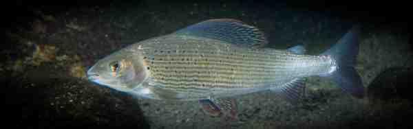 Foto: www.fiskepleje.dk