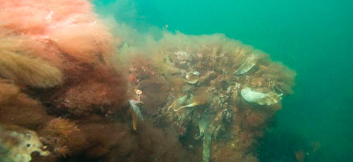Samlingspunkt. Stenene i et stenrev er levested for mange tangplanter og samlingspunkt for mange fisk og bunddyr, men effekten på næringsstofferne er uvis. Foto: Naturstyrelsen.