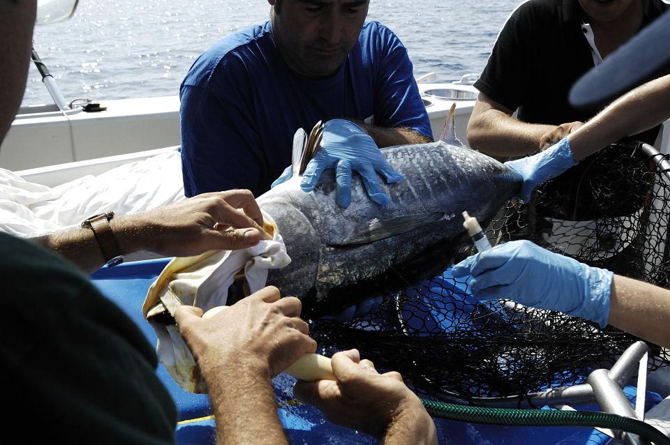 blåfinnet tun tagges