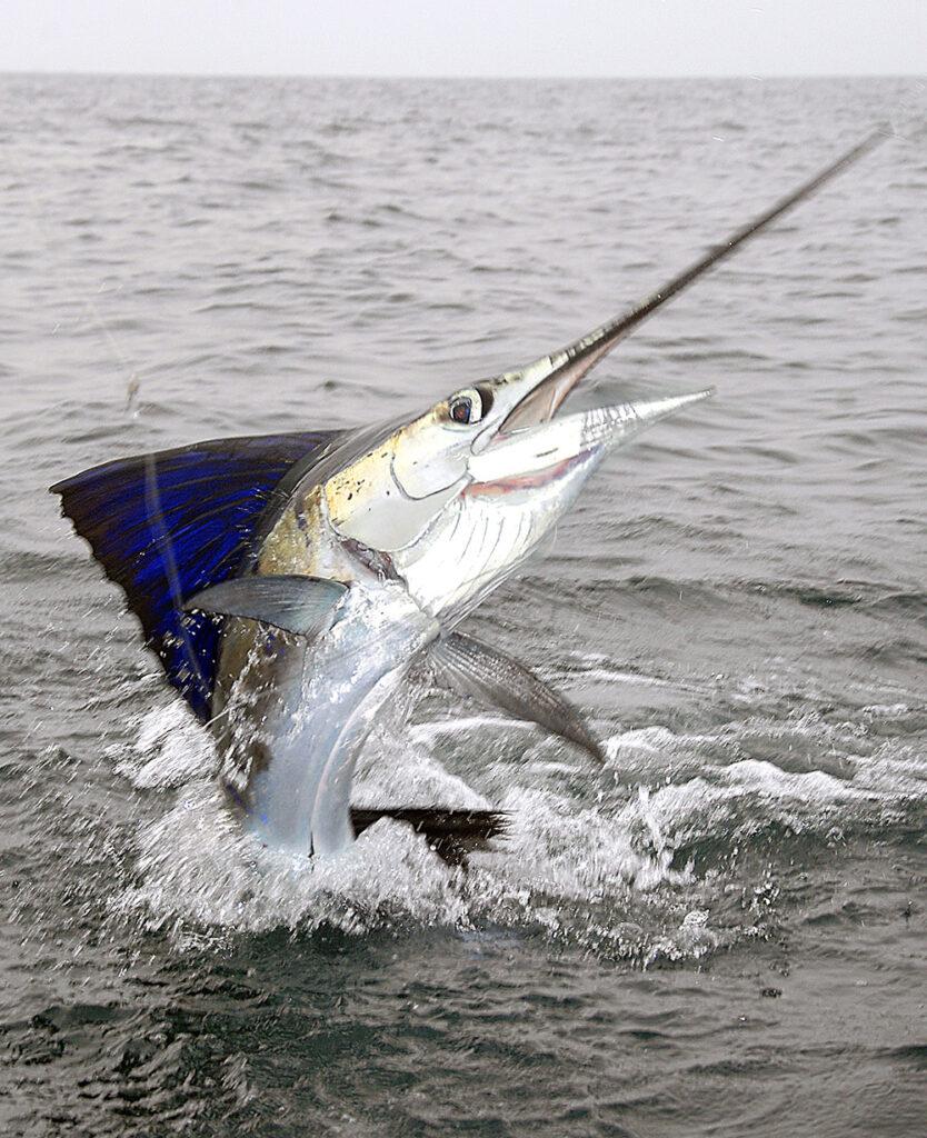 Sejlfisken levere en fantastisk fight