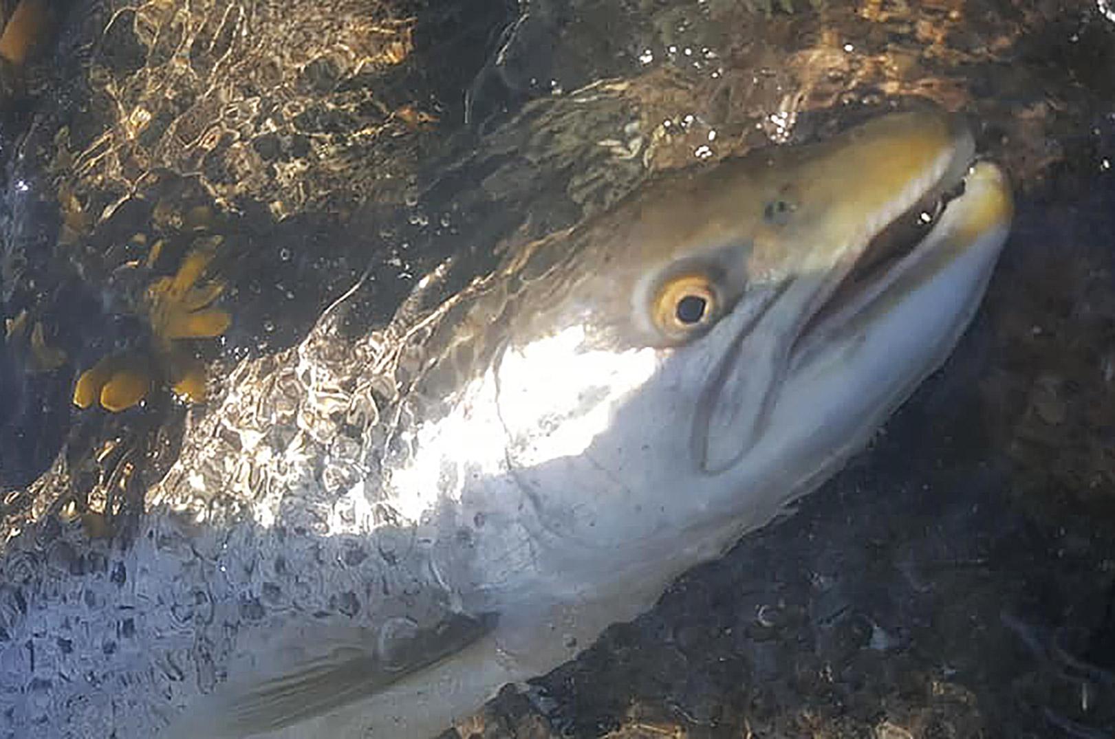 Nedfaldsfisk til Jimmy Olsen