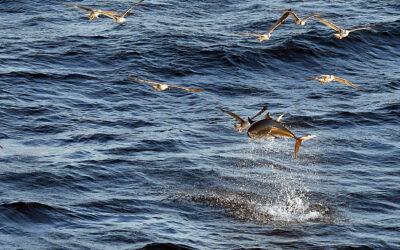 Norge får seksdoblet deres tunkvote