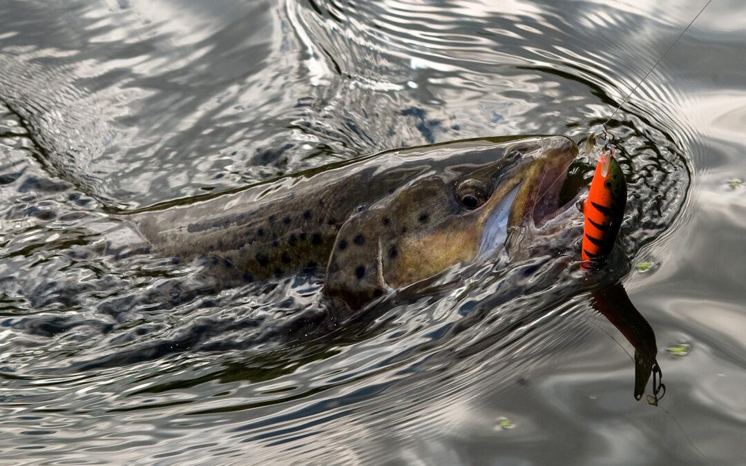 Fiskepleje på afveje, foto Jens Bursell