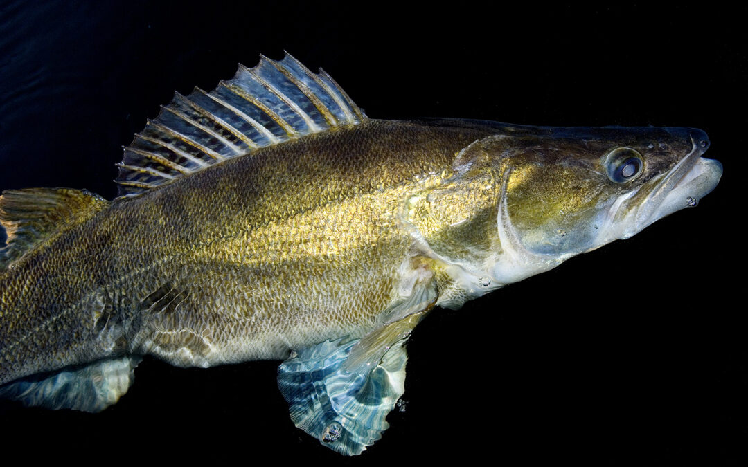 En flot sandart taget på natfiskeri i Furesøen