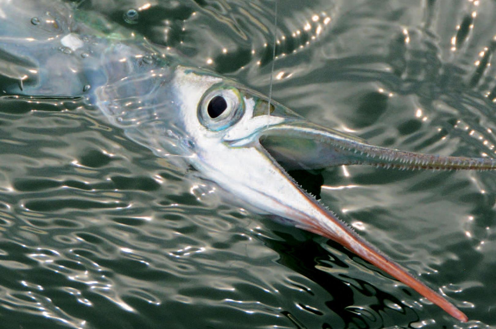 Hornfisken har mange sylespidser tænder på en benhårdt næb, hvor det er svært at kroge fisken. Her er silketråden helt optimal, da den filtrer sig godt ind mellem tænderne, så den ikke så let ryger af blinket.