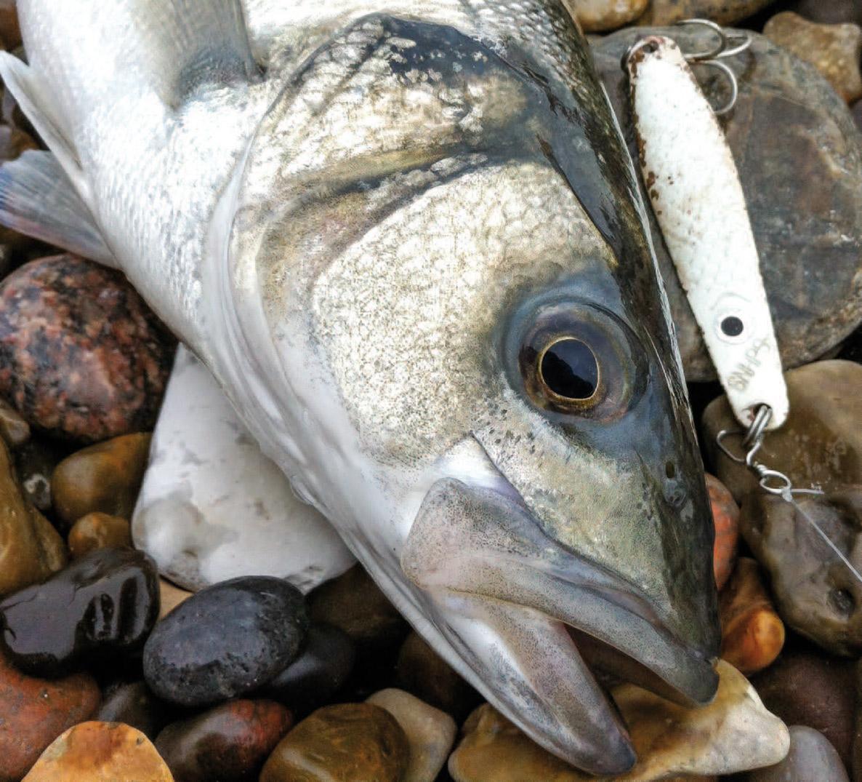 Barsen har et stort gab og er ikke bange for at bruge det. Store agn fisker ofte godt.