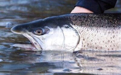 DEBATINDLÆG: Fiskepleje på Afveje – Fisketegnet (1/3)