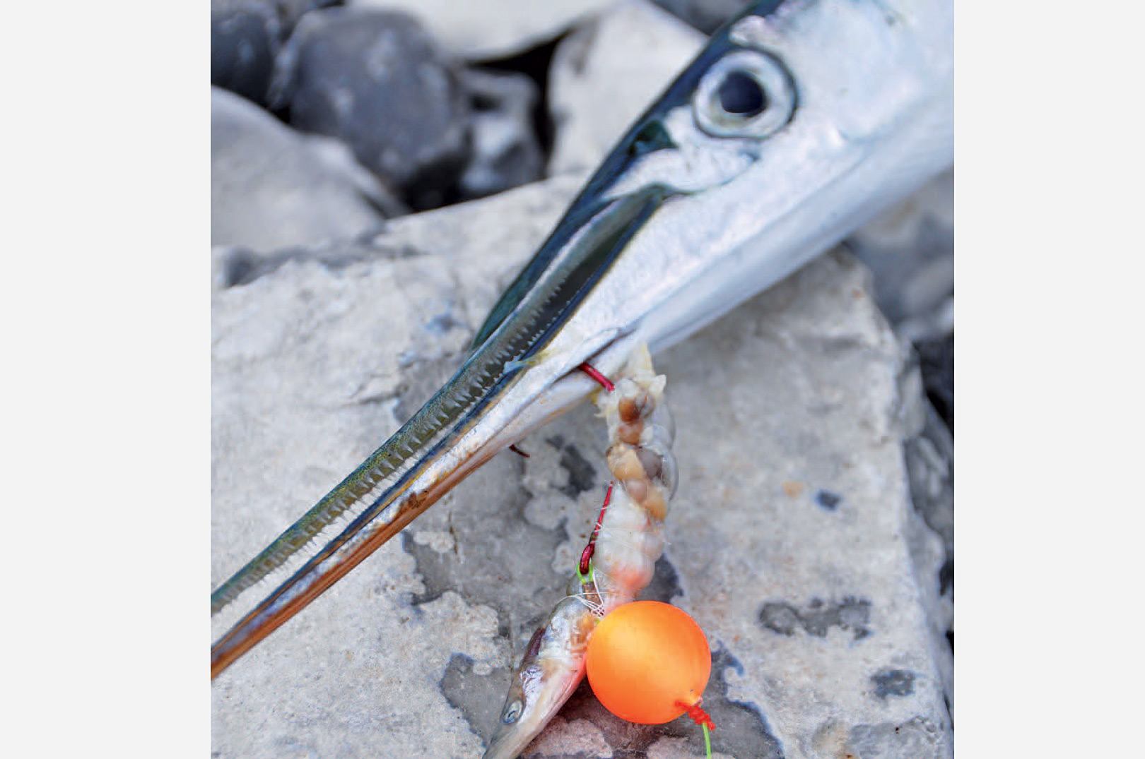 Både tobis som her og sildestykker er super agn til hornfisk