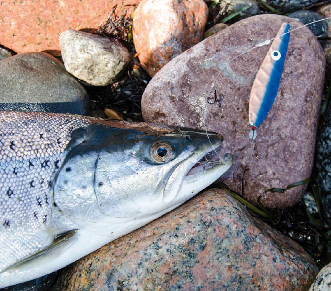 En smuk blankfisk er faldet for Snurrebassen, fisket på releasetakel – en giftig agn til sommerens, såvel som vinterens havørreder.