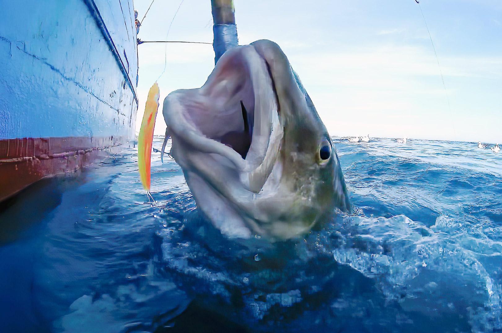 En flot torsk bryder overfladen