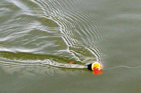 Vibrationer i vandet bag en Trout Popper, der fiskes hjem med vip med stangtoppen. Agnen kan skimtes ca. en meter bag flåddet.