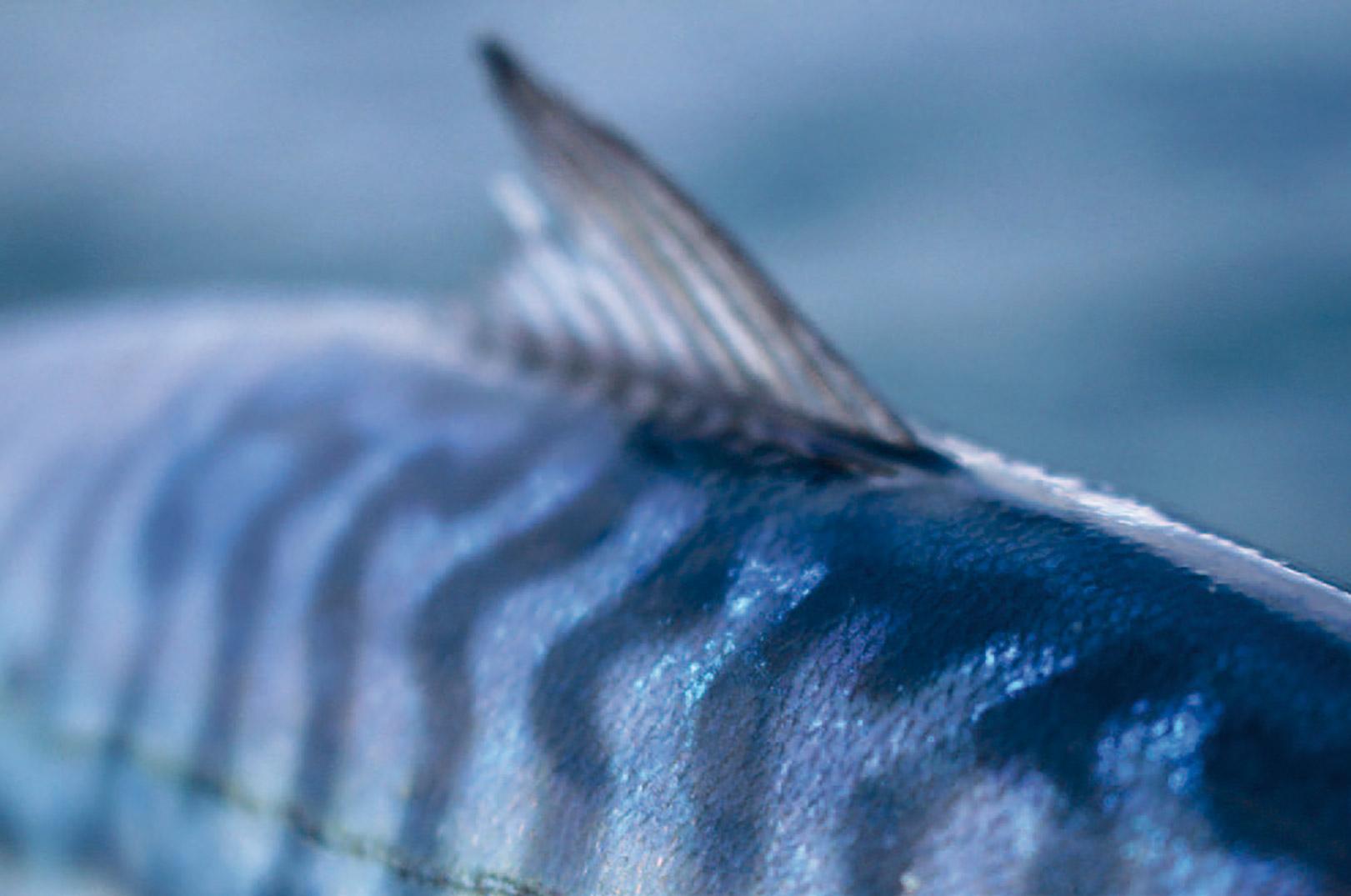 Tænk engang, - hver eneste makrel har sit mønster. Præcis som en stregkode.
