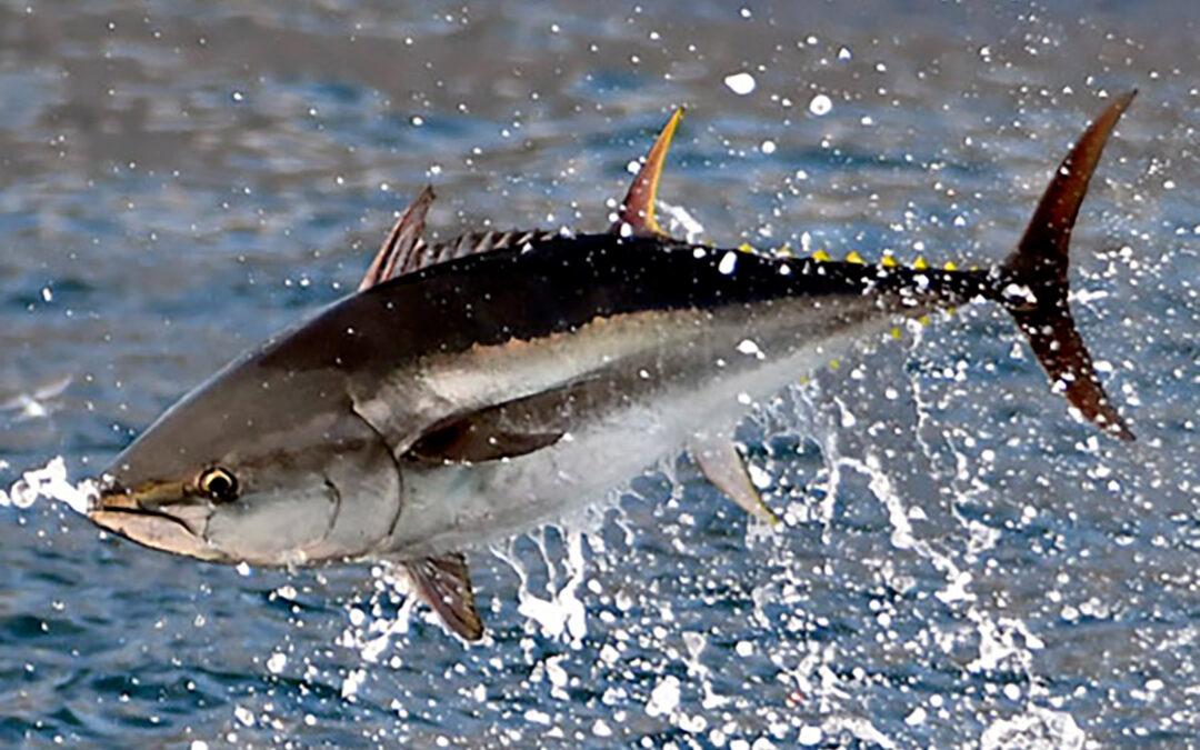 Springende blåfinnet tun