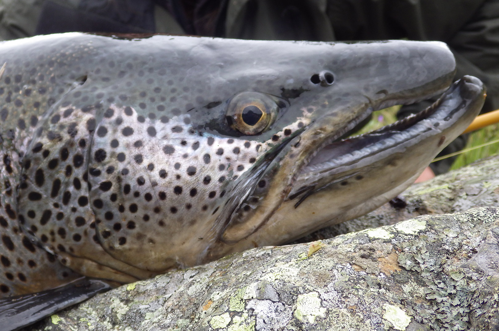En ørred i denne størrelse kan uden problemer æde mindre artsfæller, og denne grove fisk havde da også flere andre ørreder i mangen op til cirka 25-30 centimeter.
