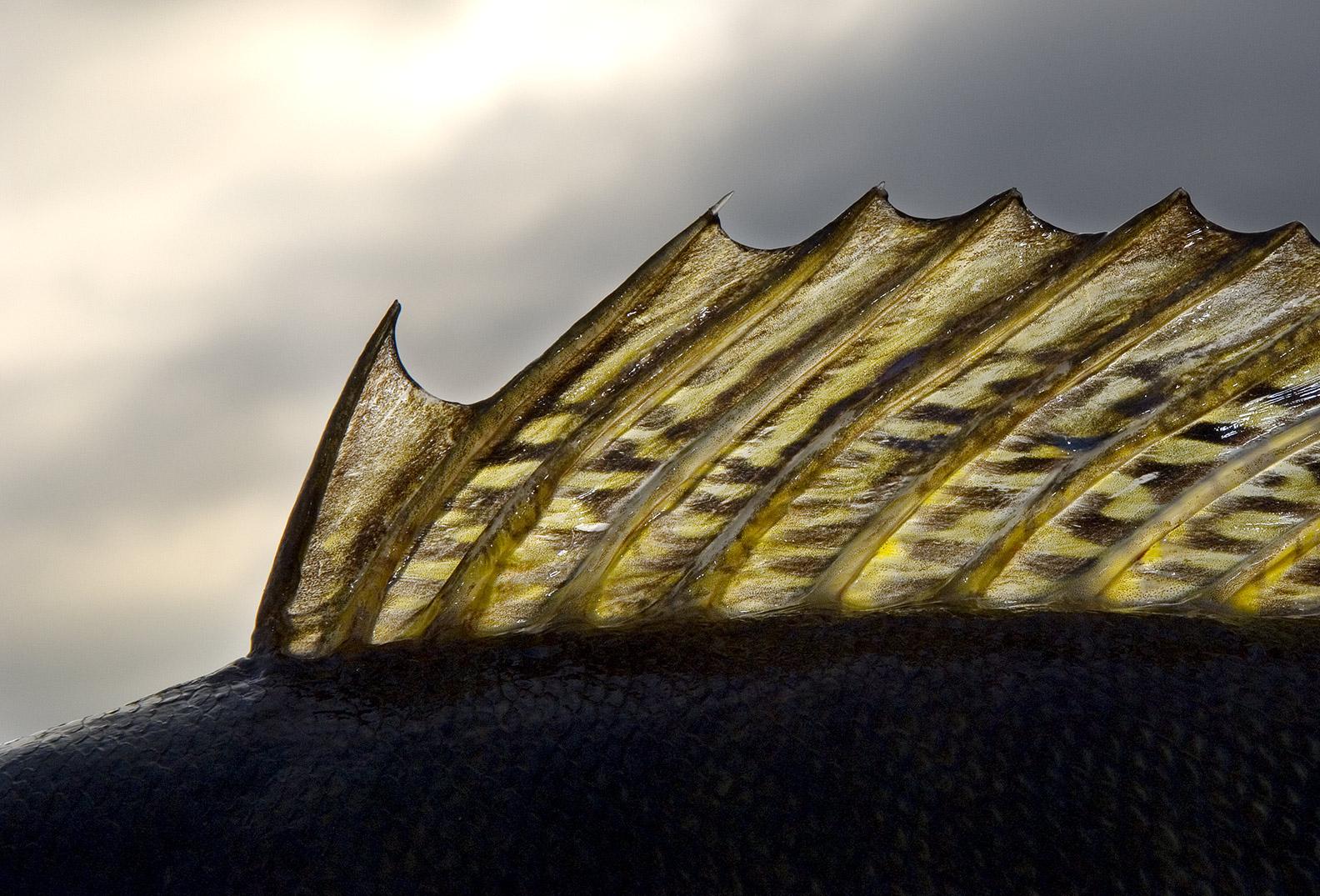 """I artiklen her gives mange gode grunde til at mennesket sandsynligvis i høj grad har bidraget til at sandarten mere eller mindre blev totalt udryddet i dens naturlige danske udbredelsesområde. På trods af dette er mener DTU Aqua at """"alt tyder på at den er uddød natururligt"""" - uden dog at være i stand til at komme med et eneste eksmepel på¨hvad """"alt"""" er"""
