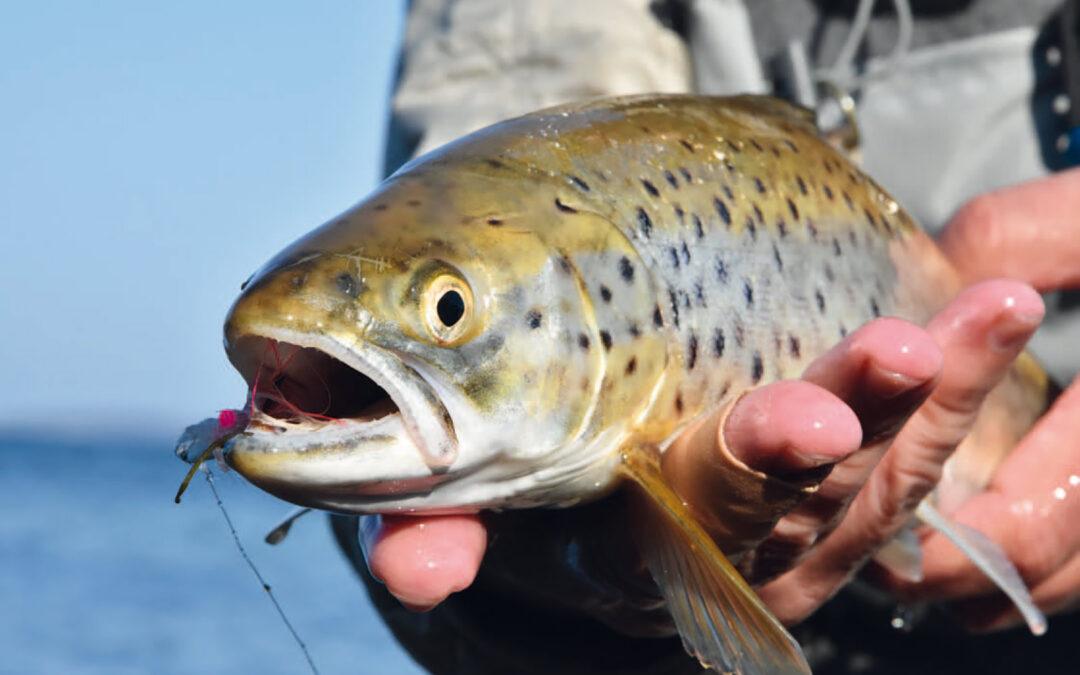 Her er det en mindre fisk, som lod sig lokke af en hvid Pattegris fisket i det inderste badekar ved Kajbjergskoven - ret til højre når du kommer til pladsen.