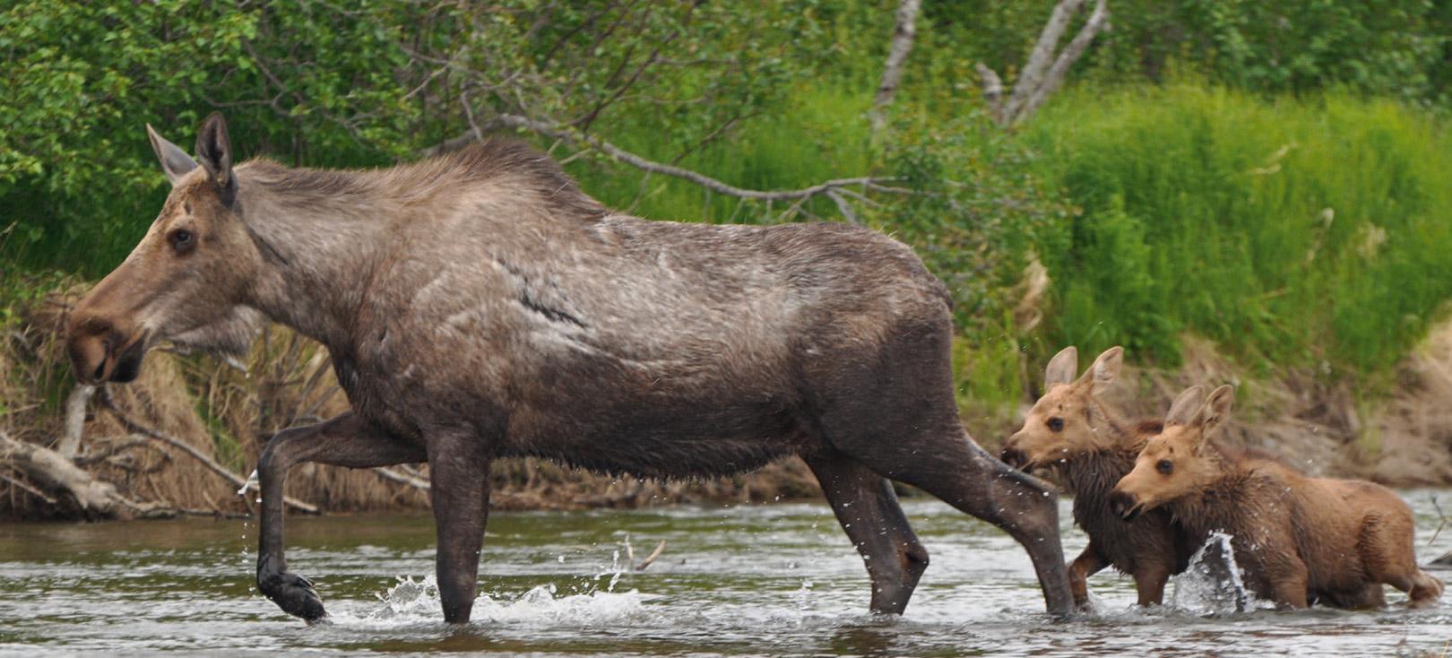 Dyrelivet man ofte oplever på et floattrip i Alaskas uberørte natur er i en klasse for sig. Her ser du den nordamerikanske elg - også kaldet moose. Bjørn, ørn og bæver er bare nogle af de dyr vi normalt ser, mens vi stille floater de små 100 kilometer ned af elven.