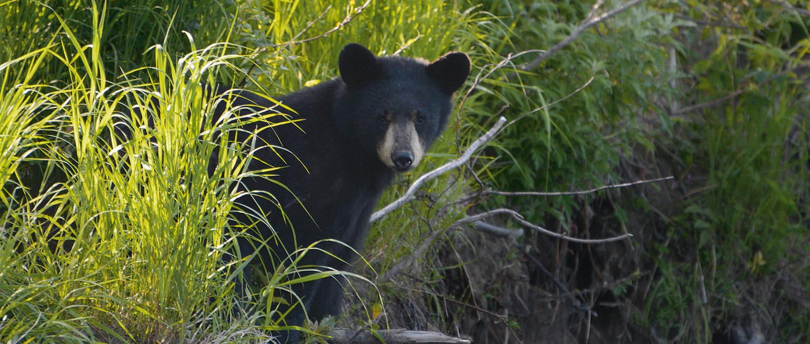 Et møde med Alaskas vilde natur er så meget mere end bare fiskeri. Ofte er vi de første, der floater elven i sæsonen, hvilket er en helt speciel oplevelse. Hvad venter rundt om hjørnet? – en lækker drømme-pool fyldt med fisk, en elg eller måske en bjørn…