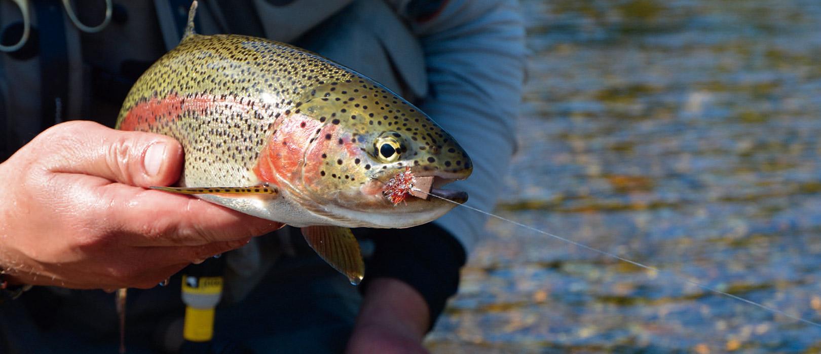 De smukke vilde regnbuer er ikke drømmetrofæer, hvad angår størrelse. De største eksemplarer vi fanger, ligger ofte i slutningen af 50´erne, men at kunne lokke disse fisk til en museflue fisket i overfladen, er helt fantastisk og en belønning i sig selv.