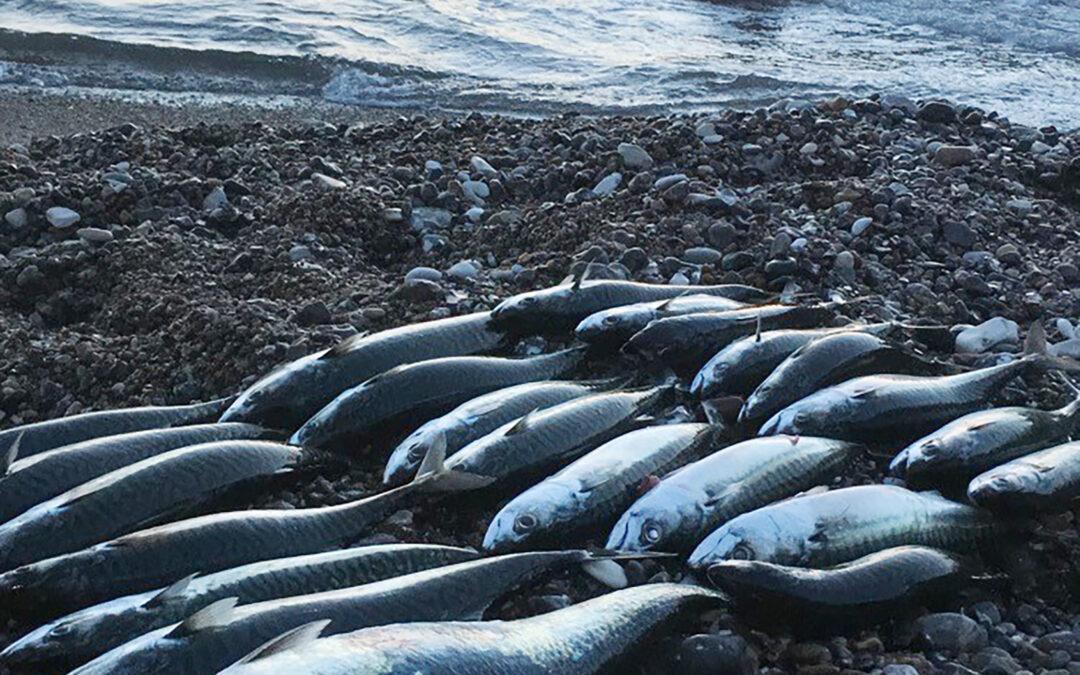 En flot fangst af makreller ved Bovbjerg på Vestkysten.