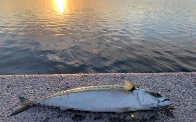 Makrelbonanza i Københavns Havn