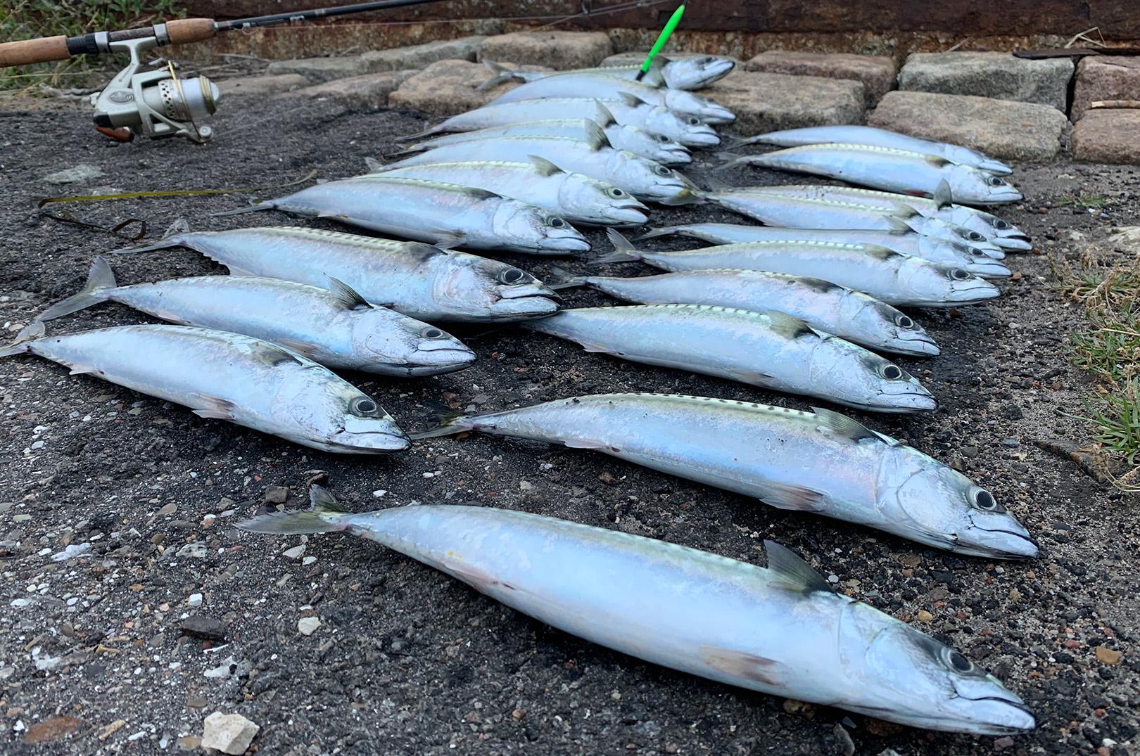 En flot stribe makreller som resultatet af et par timers fiskeri i Københavns Havn