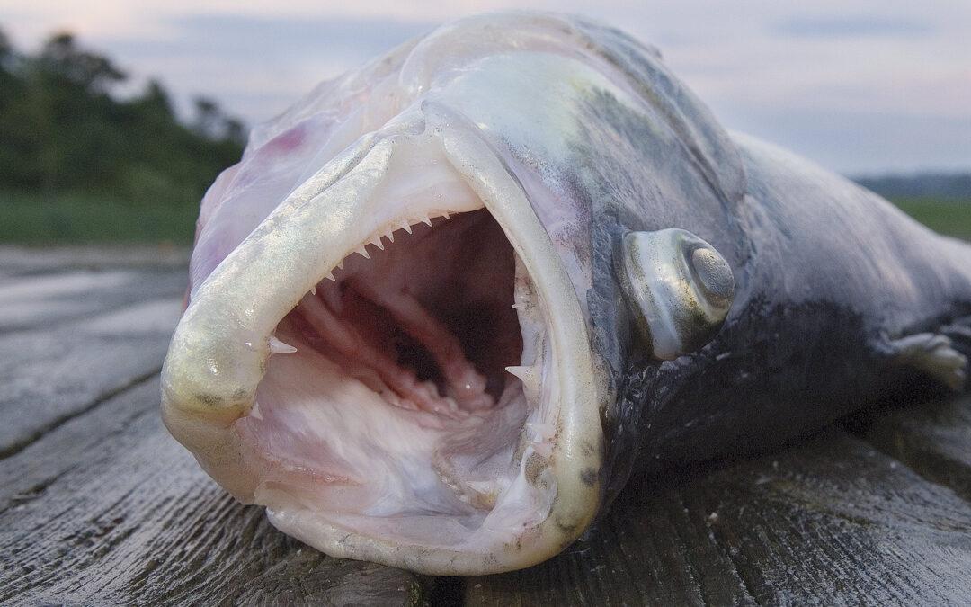 Meget tyder på at et intensivereterhvervsfiskeri efter søernes rovfisk, kan føre til en ringere økologisk tilstand. Hvis vi skal levet op til EU´s Vandrammedirektiver inden 2027, som det er fastsat, så vil det være oplagt at starte med de lavest hængende fruger: At lukke alt erhvervsfiskeri på søerne øjblikkeligt.