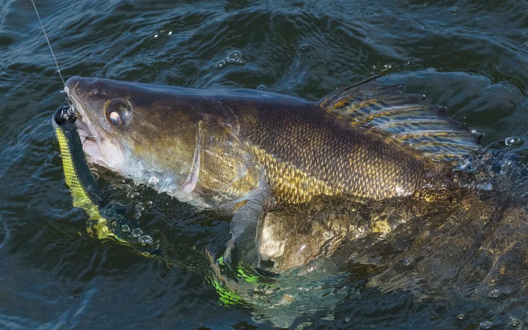 Farven på din agn kan betyde meget, når du fisker efter sandart